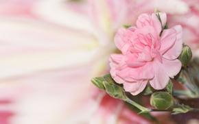 розовый, фон, размытость, блики, бутоны, цветок
