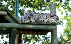 Barca, snow leopards, wild cats, snow leopards