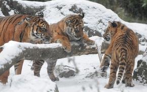 Tigre siberiano, Tigres, cachorros, cachorros
