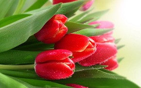 dew, red, Tulips, Droplets