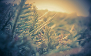 photo, light, plant, needles