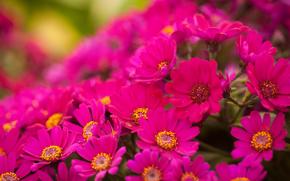 яркие, розовые, цветы, хризантемы, много