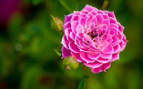 зелень, каёмка, розовая, бутон, цветок, роза