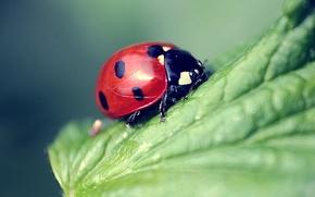 ladybird, on sheet, macro
