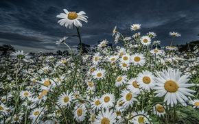 Blumen, Gnseblmchen, Natur