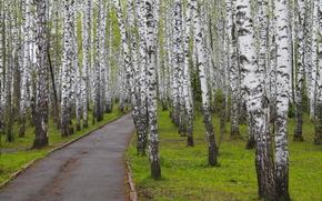 parco, Betulle, traccia, alberi, natura