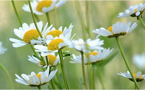 Blumen, Gnseblmchen, Makro