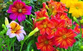 Salpiglossis, trubkoyazychnik, Flowers
