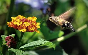La esfinge colibr