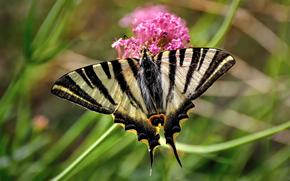 butterfly, flower, macro