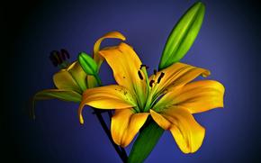 flor, asitico hbrido, Lemongrass Lily