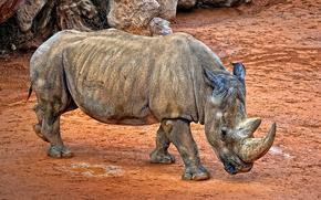 White Rhino, simum, zoo, valencia, Spagna