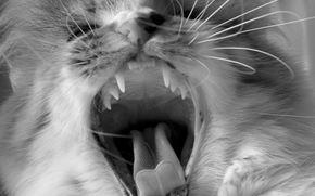 кот, черно-белая, язык, усы, клыки, зубы