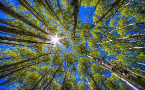 Trees, Birch, sky, sun