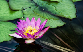 water lilies, chi lin nunnery, diamond hill, лилия, цветок, пруд