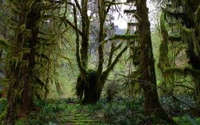 лес, деревья, мох, природа