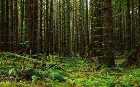 bosque, Los rboles, musgo, helecho, vegetacin, Naturaleza, paisaje