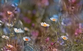Feld, Blumen, Gnseblmchen, Makro