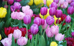 aiuola, Tulipani, Multicolore