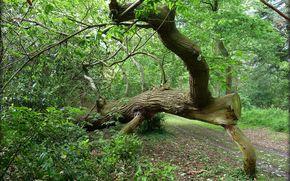 foresta, strada, albero caduto, natura
