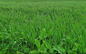 трава, лопухи, природа