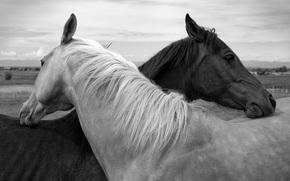 лошади, черно-белое, пара, дружба