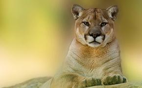пума, горный лев, морда, взгляд, хищник