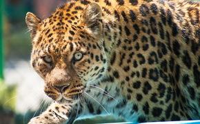 леопард, leopard, морда, взгляд, крадётся, хищник