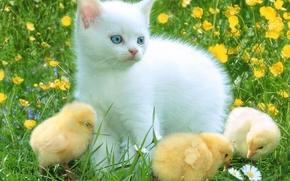 kitten, Chickens, Friends