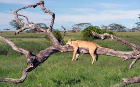 leonessa, dorme, in un albero