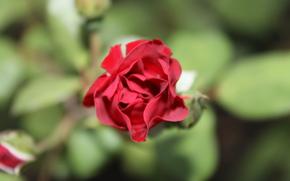 растение, листья, роза, цветы, природа