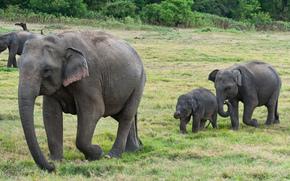 Sri Lanka, lphant, slonyata