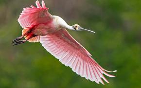 колпица, розовая, полёт
