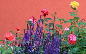 Rose, lavender, wall
