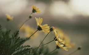 Chrysantheme, Greens, Gnseblmchen, gelb, Blumen