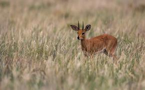 Deer, cub, HORNS, grass, Horn, antelope