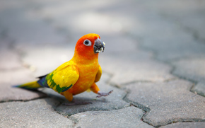 птица, крошки, мостовая, яркий, попугай