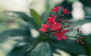 fogliame, verdura, rosso, Buds, infiorescenza, fiore, ramo