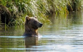 вода, озеро, купание, медведь