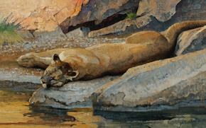 gatto, riposo, sogno, abbeveratoio, predatore, pietre, Bugie, acqua, pietre rotonde, torrente, Arte, immagine, selvatico, puma