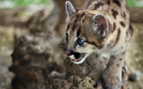 animali, occhi, gattino, leopardo