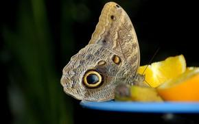 mariposa, limn, Macro