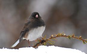 snow, bird, Winter, branch, needles