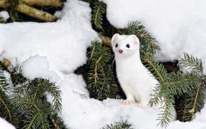 ermine, snow, Winter, needles
