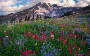 paradise wildflowers - mazama ridge, mount rainier national park, longmire, wa