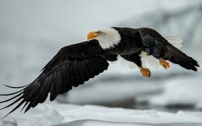 coulisses, vol, aigle