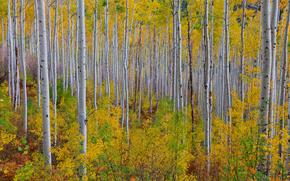 colori autunnali lungo il passaggio indipendenza - Independence Pass, Pioppo tremolo, Colorado
