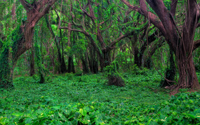 banyon forest - honolua bay, west maui, hawaii