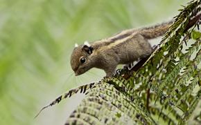 sfondo, Himalayan scoiattolo striato, verde, fogliame