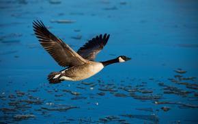 coulisses, vol, eau, libert, canard, oiseau